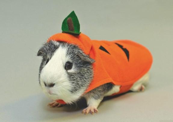 PetSmart Guinea Pig Pumpkin (575 x 406)
